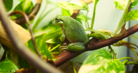 toad : Green Tree Frog Stock Footage