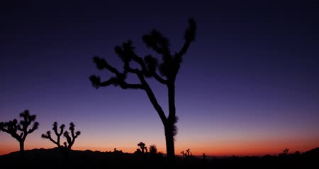 Joshua Tree Silhouette at Dusk