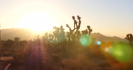 Joshua Tree National Park at Sunset - Panning Shot