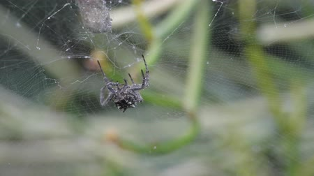 pókháló : Close up of a spider collecting rain water drops and drinking them.