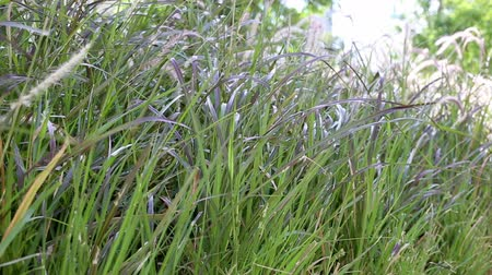 purple veins : Fountaingrass, Pennisetum setaceum, swaying in the wind