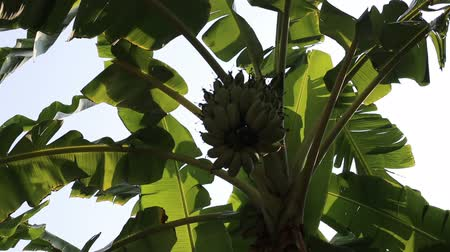 muz : Swaying banana leaves and green banana cluster