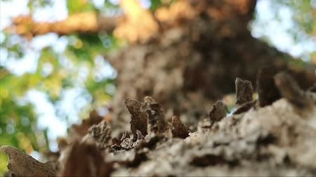 extreme close up : Extreme close-up of tree with peeling flaky bark. Pterocarpus macrocarpus also known as Burma padauk.
