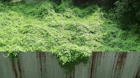 oluklu : Invasion of nature. Overgrown wild vine crossing rusty corrugated metal fence. Stok Video