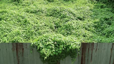 невозделанный : Invasion of nature. Overgrown wild vine crossing rusty corrugated metal fence. Стоковые видеозаписи