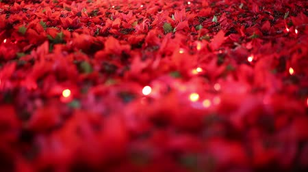 azevinho : Soft-focused romantic Christmas and New Year decoration. Beautiful red poinsettia artificial flower fields blowing in the breeze. Warm Christmas lights blinking in the background.