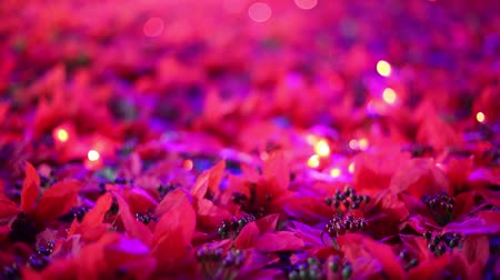 artificial flower : Soft-focused romantic Christmas and New Year decoration. Beautiful red poinsettia artificial flower fields blowing in the breeze. Warm Christmas lights blinking in the background.