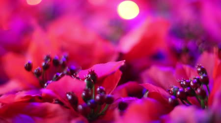 seda : Soft-focused romantic Christmas and New Year decoration. Close-up of beautiful red poinsettia artificial flowers blowing in the breeze. Christmas lights blinking in the background. Vídeos