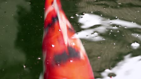 tail fin : Soft-focused close-up view of variety colorful ornamental Koi carp fishes, Cyprinus carpio, swim in dust particle floating green water