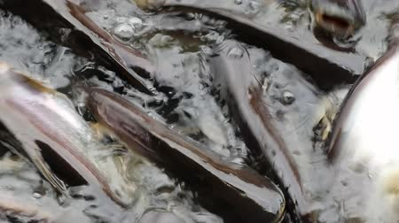 cauda : Massive quantity of aggressive shark catfish, Iridescent Shark, Pangasianodon hypophthalmus, searching and waiting for food Stock Footage