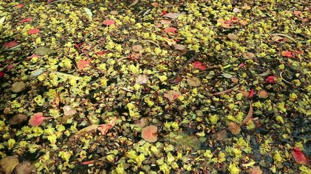 organismo vivo : Beautiful fallen flowers and variety of leaves floating on green water. Flowers of yellow Peltophorum pterocarpum (copperpod) and red Delonix regia (flame tree) Vídeos