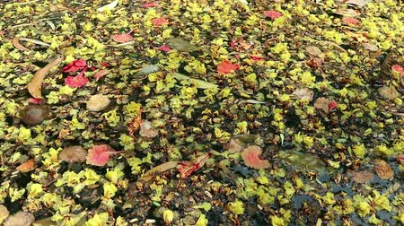 Beautiful fallen flowers and variety of leaves floating on green water. Flowers of yellow Peltophorum pterocarpum (copperpod) and red Delonix regia (flame tree) Wideo