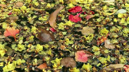 organizma : Beautiful fallen flowers and variety of leaves floating on green water. Flowers of yellow Peltophorum pterocarpum (copperpod) and red Delonix regia (flame tree) Stok Video