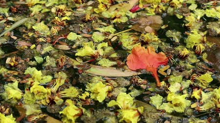 kırılganlık : Beautiful fallen flowers and variety of leaves floating on green water. Flowers of yellow Peltophorum pterocarpum (copperpod) and red Delonix regia (flame tree) Stok Video
