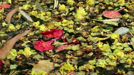 Beautiful fallen flowers and variety of leaves floating on green water. Flowers of yellow Peltophorum pterocarpum (copperpod) and red Delonix regia (flame tree) Vídeos