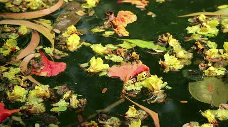 flutuador : Beautiful fallen flowers and variety of leaves floating on green water. Flowers of yellow Peltophorum pterocarpum (copperpod) and red Delonix regia (flame tree) Stock Footage