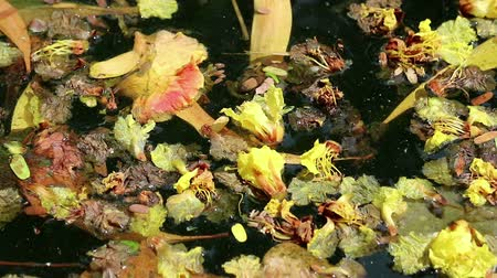 rothadás : Beautiful fallen flowers and variety of leaves floating on green water. Flowers of yellow Peltophorum pterocarpum (copperpod) and red Delonix regia (flame tree) Stock mozgókép
