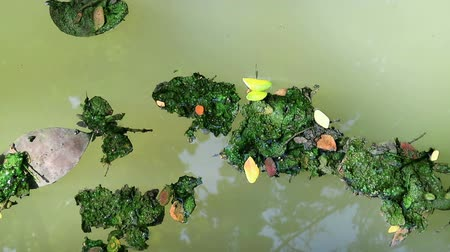 dead forest : Algae covered fallen leaves floating on green planktonic algae water