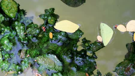 rothadás : Algae covered fallen leaves floating on green planktonic algae water