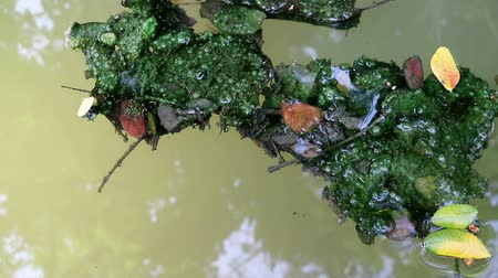 Algae covered fallen leaves floating on green planktonic algae water