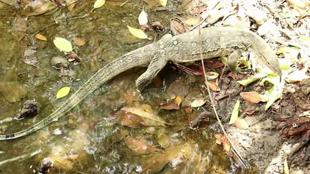 Top view of giant Asian water monitor lizard, Varanus salvator, cruising mangrove saline swamp