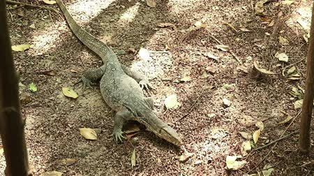 Giant Asian water monitor lizard, Varanus salvator, avoids water sprinkler