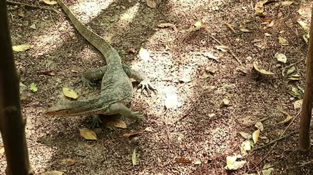 Giant Asian water monitor lizard, Varanus salvator, cruising forest for hunting prey