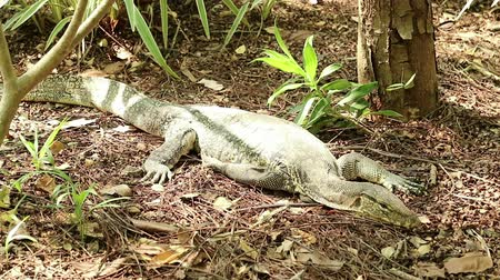 Asian water monitor lizard, Varanus salvator, rests under the sunlight Wideo