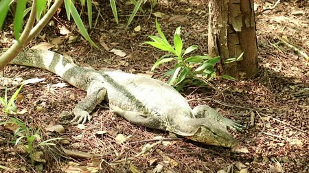 at kuyruğu : Resting Asian water monitor lizard, Varanus salvator, suddenly attacks viewer or photographer. Extremely shaking camera and strap. Stok Video