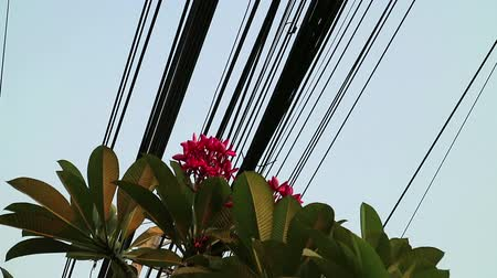 apocynaceae : Contrast between nature and technology, Plumeria flowering tree and electrical power lines