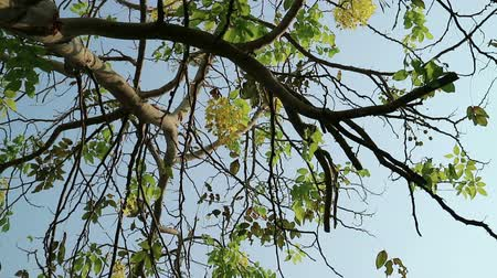 Cassia fistula, known as golden shower tree or canafistula, in the family Fabaceae. The national tree and flower of Thailand. Wideo