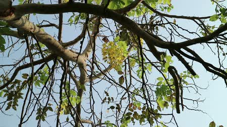 Cassia fistula, known as golden shower tree or canafistula, in the family Fabaceae. The national tree and flower of Thailand. Vídeos