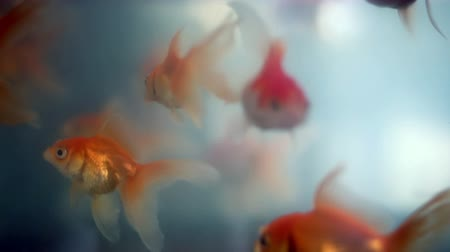 tail fin : Soft focused beautiful ornamental goldfishes swim Stock Footage