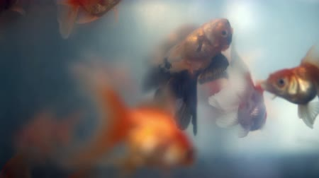 armadilha : Soft focused view of beautiful goldfishes and drowning orange black goldfish