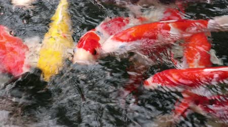 zen como : Variety colorful ornamental Koi carp fishes, Cyprinus carpio, swim in fast flowing water pond