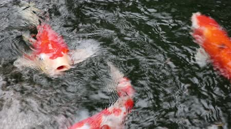 Variety colorful ornamental Koi carp fishes, Cyprinus carpio, swim in fast flowing water pond