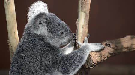 ausztrál : Australian koala outdoors. Queensland, Australia