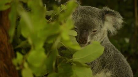 aussie : Cute Australian Koala in a tree resting during the day.