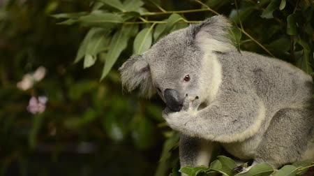 eukaliptus : Cute Australian Koala in a tree resting during the day.