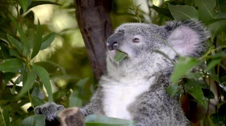 камедь : Cinemagraph of a cute Australian Koala in a tree eating. Стоковые видеозаписи