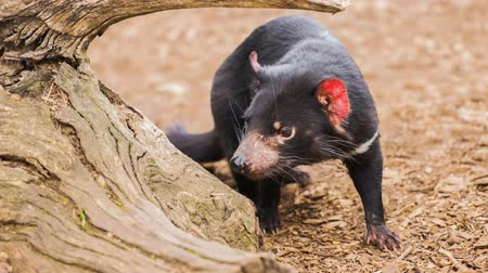tasmania : Tasmanian Devil outside during the day.