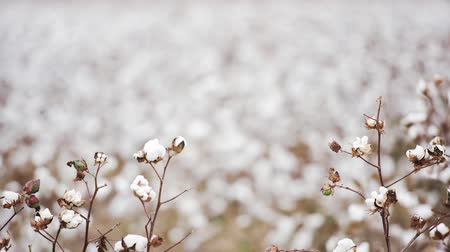 puffs : Field of cotton in the countryside ready for harvesting.