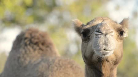 dromedaris : Camel outside amongst nature during the daytime