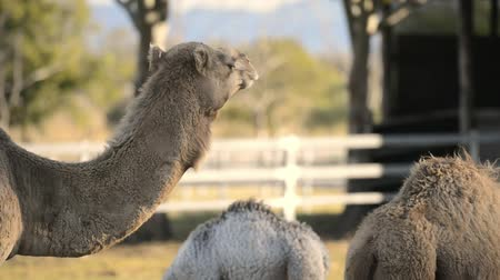 camelidae : Camels outside amongst nature during the daytime Stock Footage