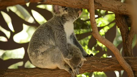 камедь : Cute Australian mother Koala with her joey in a tree resting during the day.