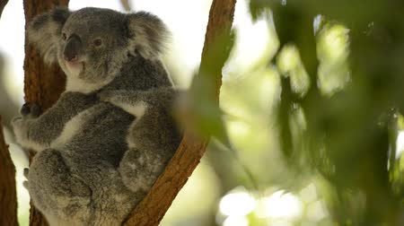 eukaliptus : Cute Australian mother Koala with her joey in a tree resting during the day.