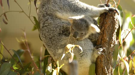 aussie : Cute Australian mother Koala with her joey in a tree resting during the day.