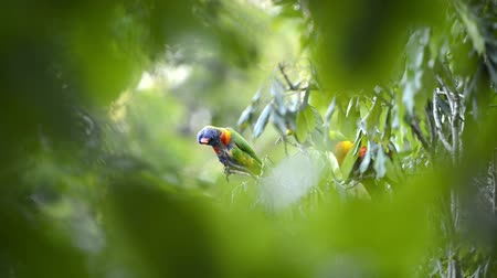 papagaio : Rainbow lorikeets out in nature during the day.