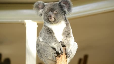 szare tło : Koala by itself in a tree