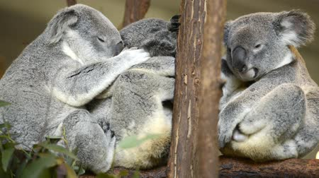 eukaliptus : Three Australian Koalas in a tree resting during the day.